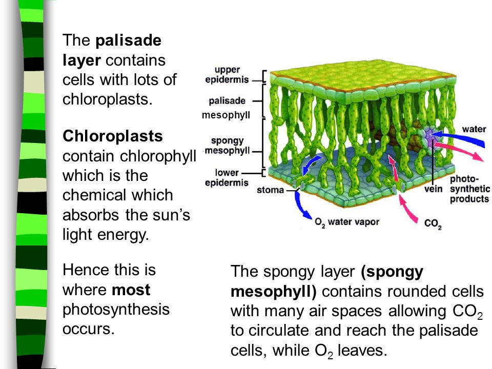 The palisade layer contains cells with lots of chloroplasts.