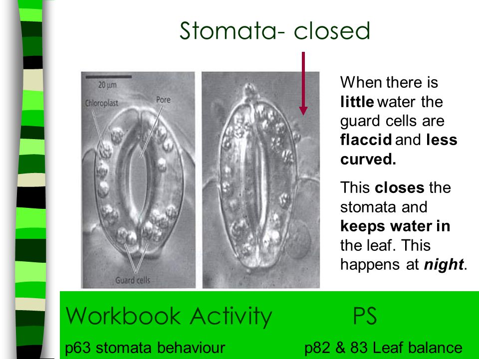 Stomata- closed Workbook Activity PS