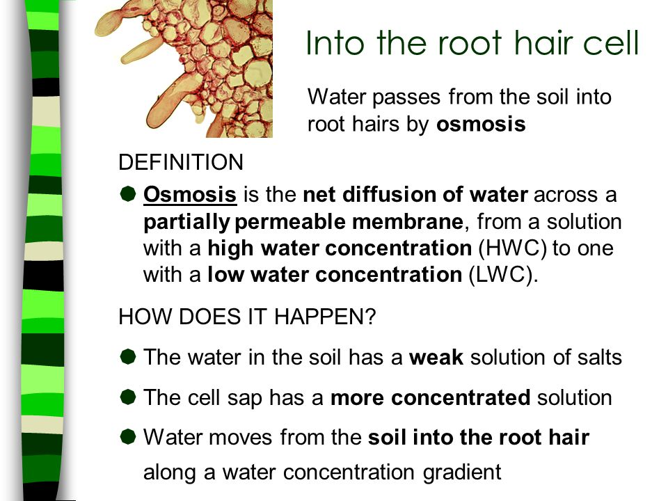 Into the root hair cell Water passes from the soil into root hairs by osmosis. DEFINITION.