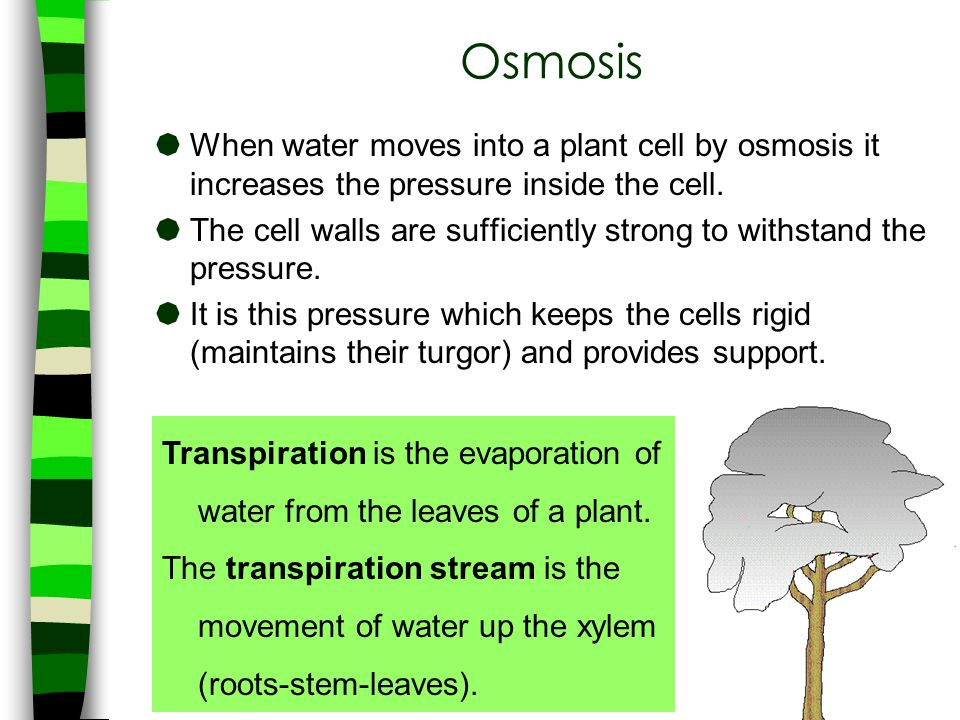 Osmosis When water moves into a plant cell by osmosis it increases the pressure inside the cell.