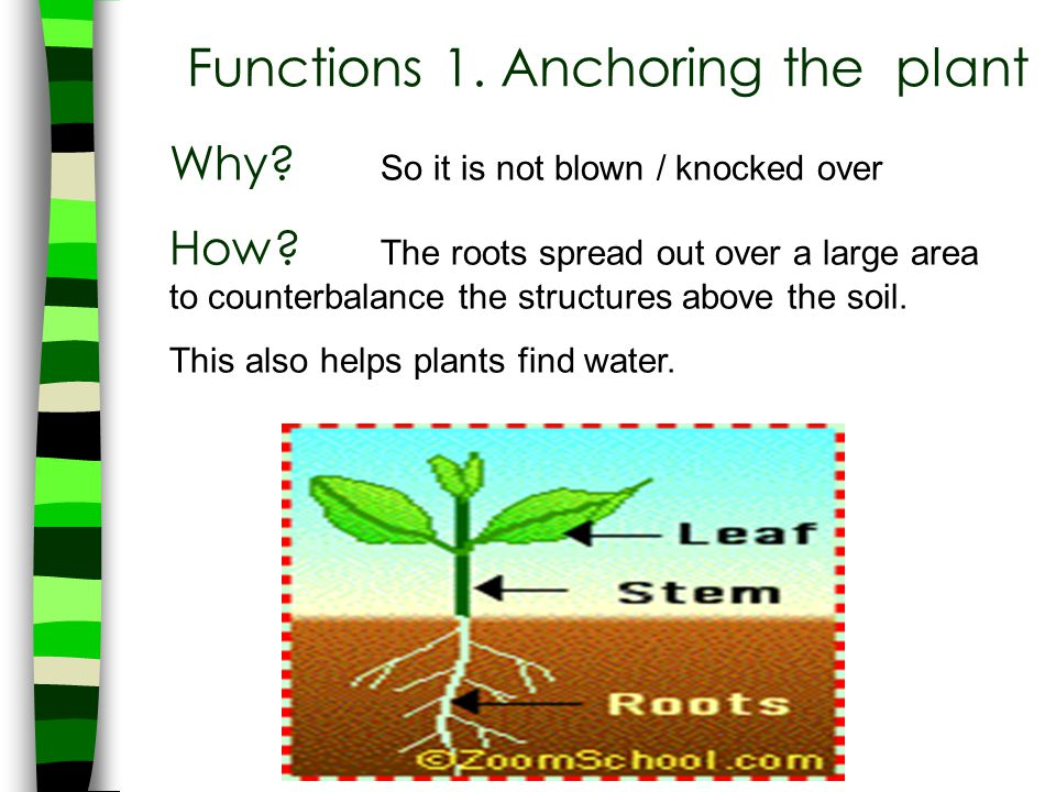 Functions 1. Anchoring the plant