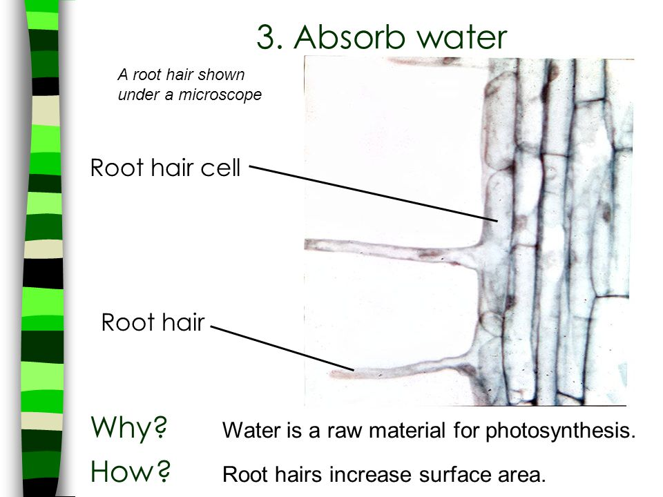 3. Absorb water Why Water is a raw material for photosynthesis.