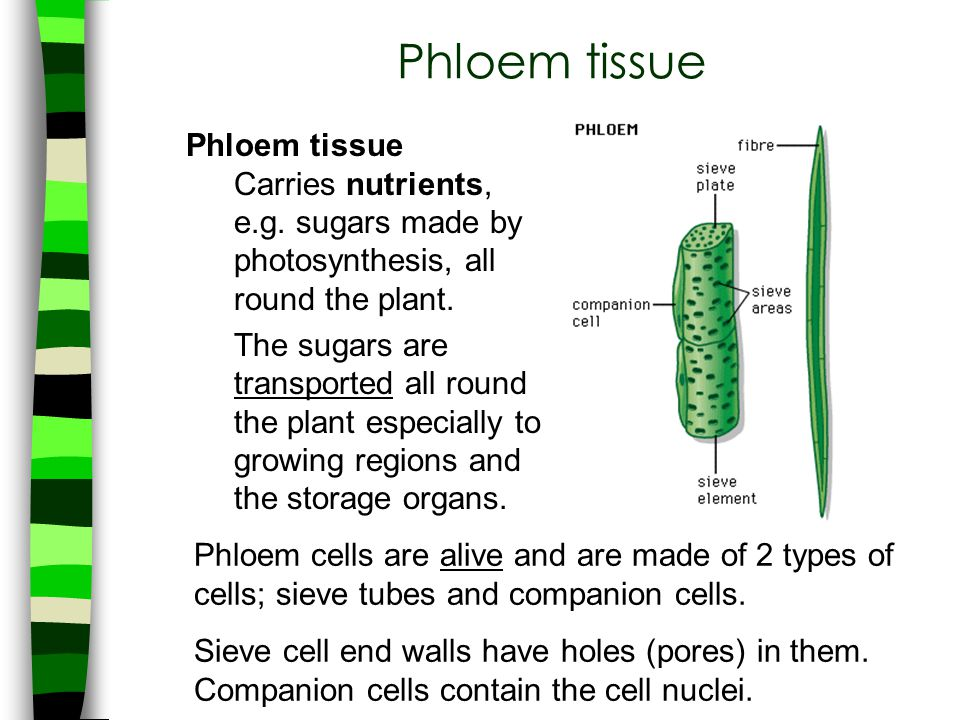 Phloem tissue Phloem tissue Carries nutrients,
