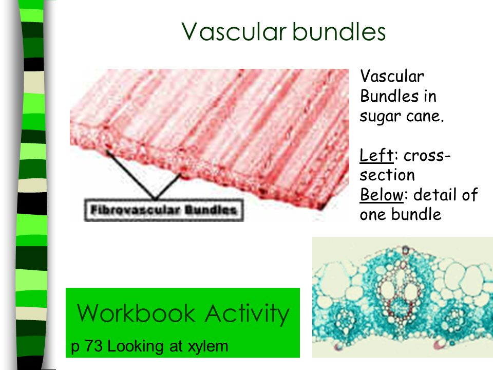 Vascular bundles Workbook Activity Vascular Bundles in sugar cane.