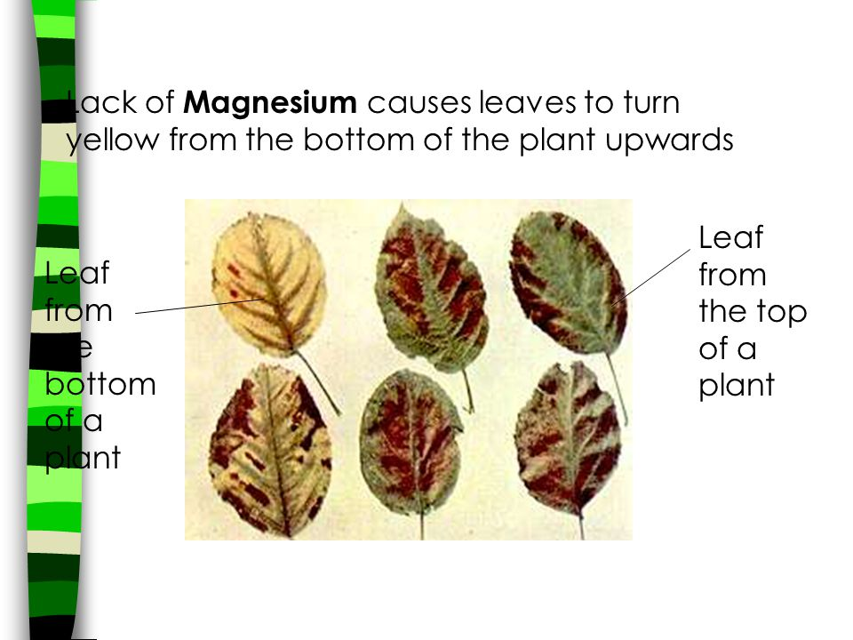 Lack of Magnesium causes leaves to turn yellow from the bottom of the plant upwards