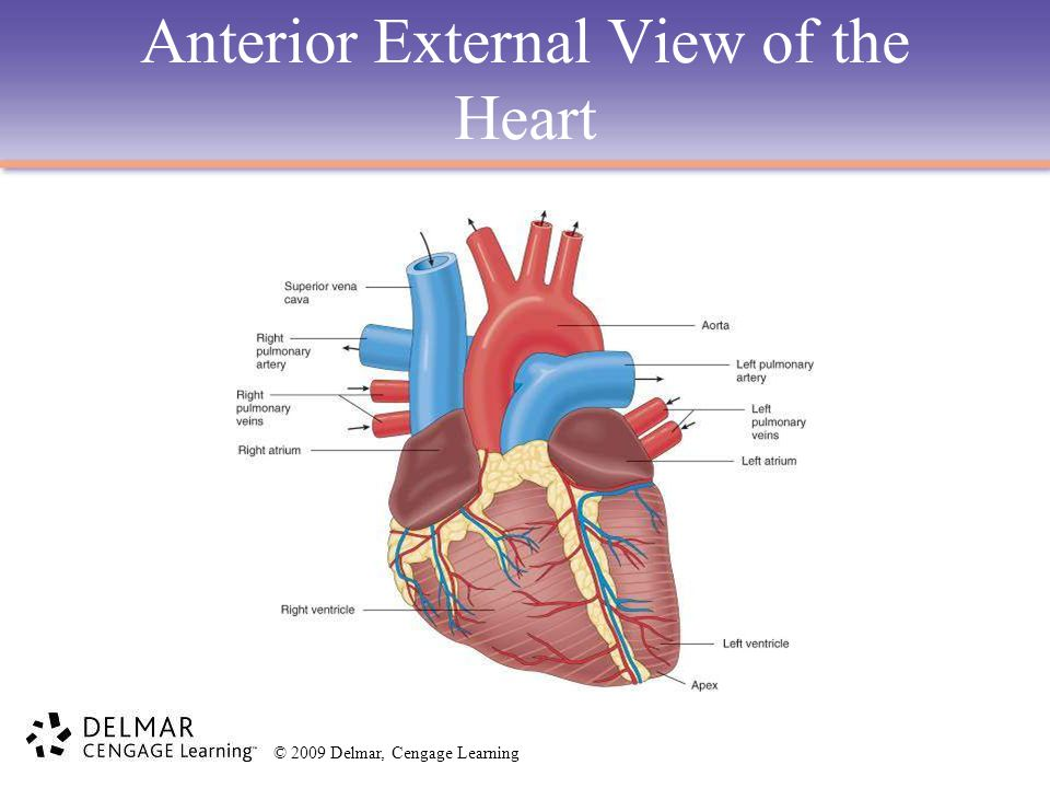 Anterior External View of the Heart