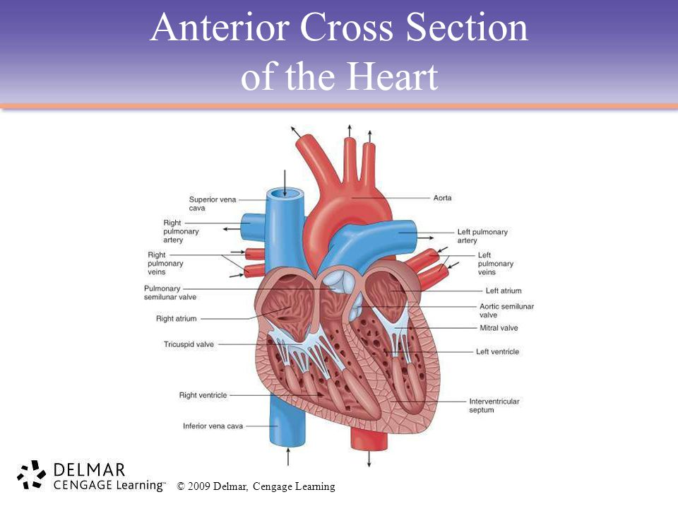 Anterior Cross Section of the Heart