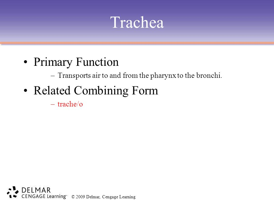 Trachea Primary Function Related Combining Form