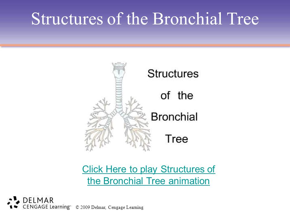 Structures of the Bronchial Tree