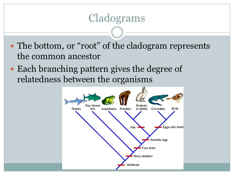 Cladograms The bottom, or root of the cladogram represents the common ancestor.