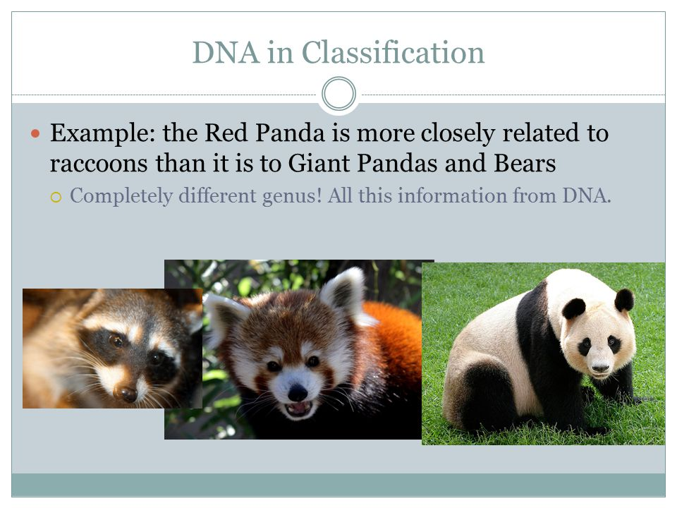 DNA in Classification Example: the Red Panda is more closely related to raccoons than it is to Giant Pandas and Bears.