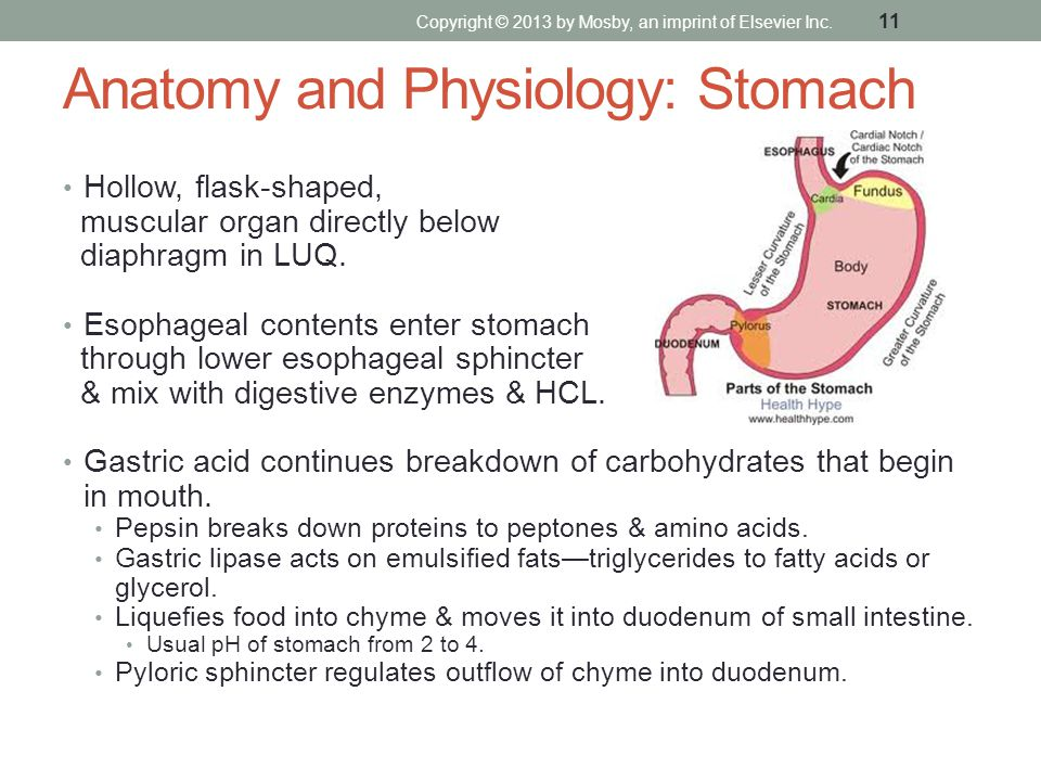 Anatomy and Physiology: Stomach