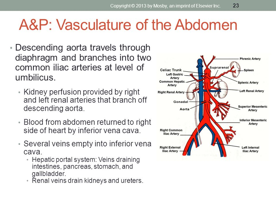 A&P: Vasculature of the Abdomen