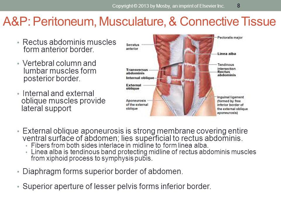 A&P: Peritoneum, Musculature, & Connective Tissue