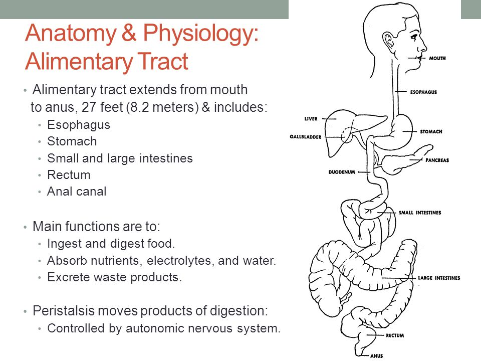 Anatomy & Physiology: Alimentary Tract