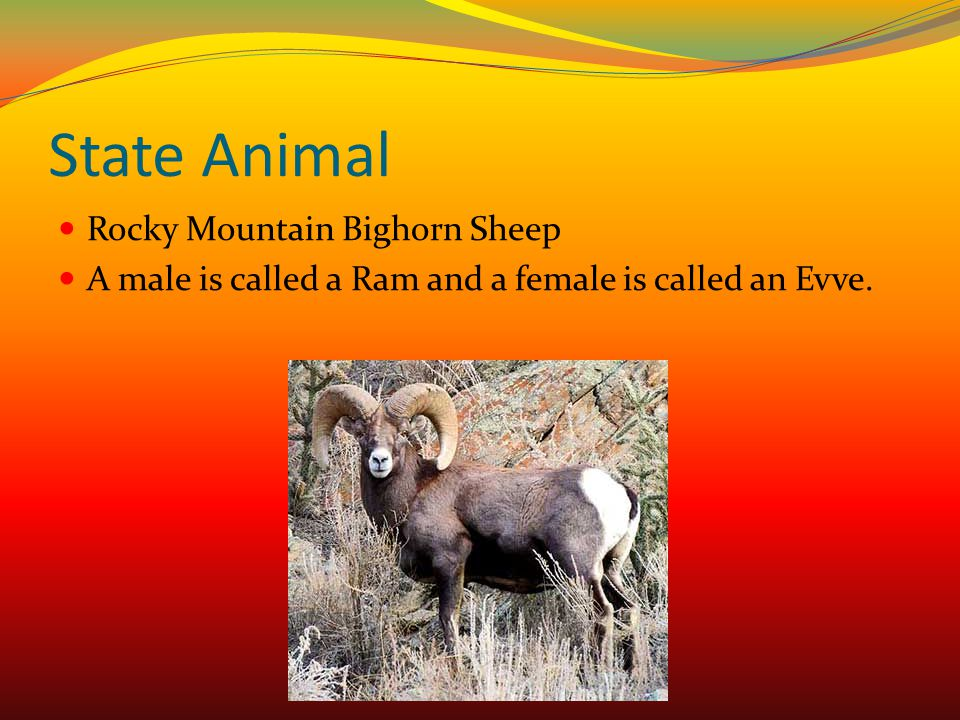 State Animal Rocky Mountain Bighorn Sheep