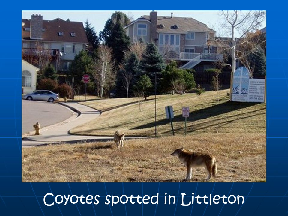 Coyotes spotted in Littleton