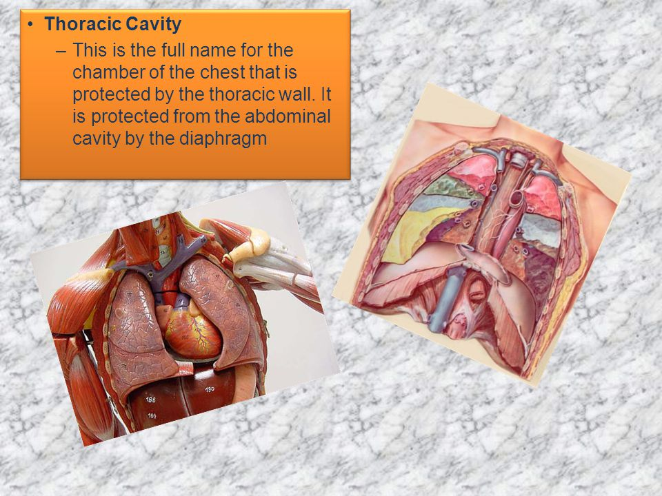 Thoracic Cavity