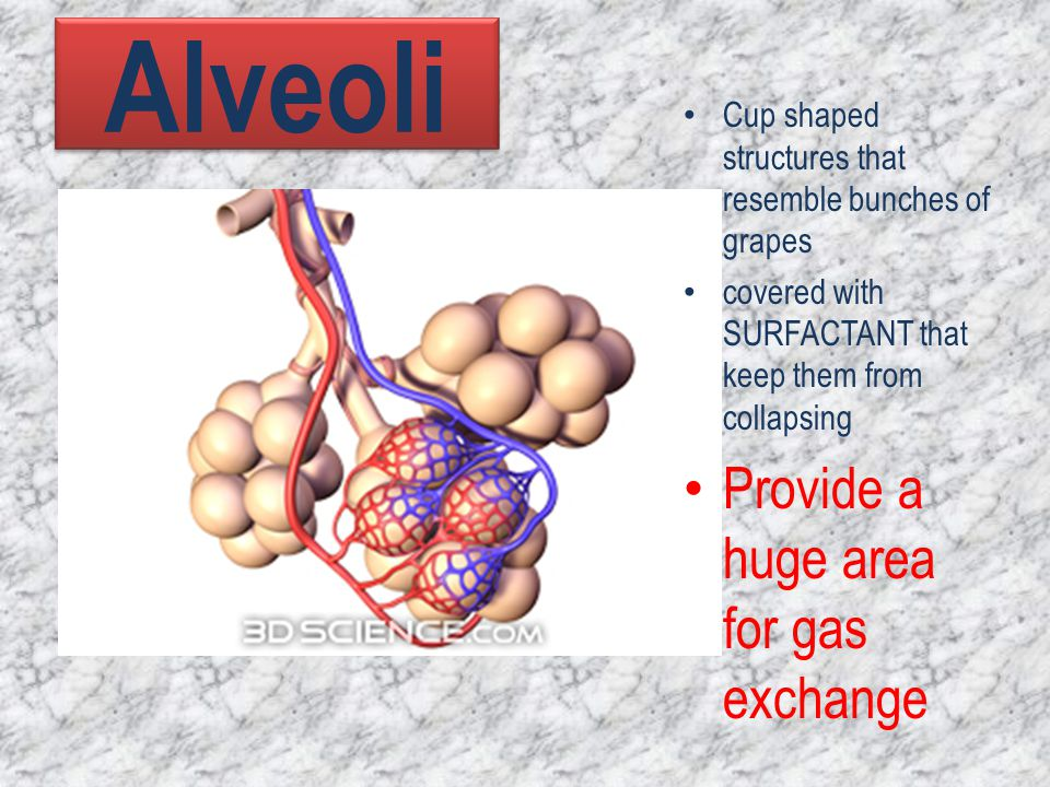 Alveoli Provide a huge area for gas exchange