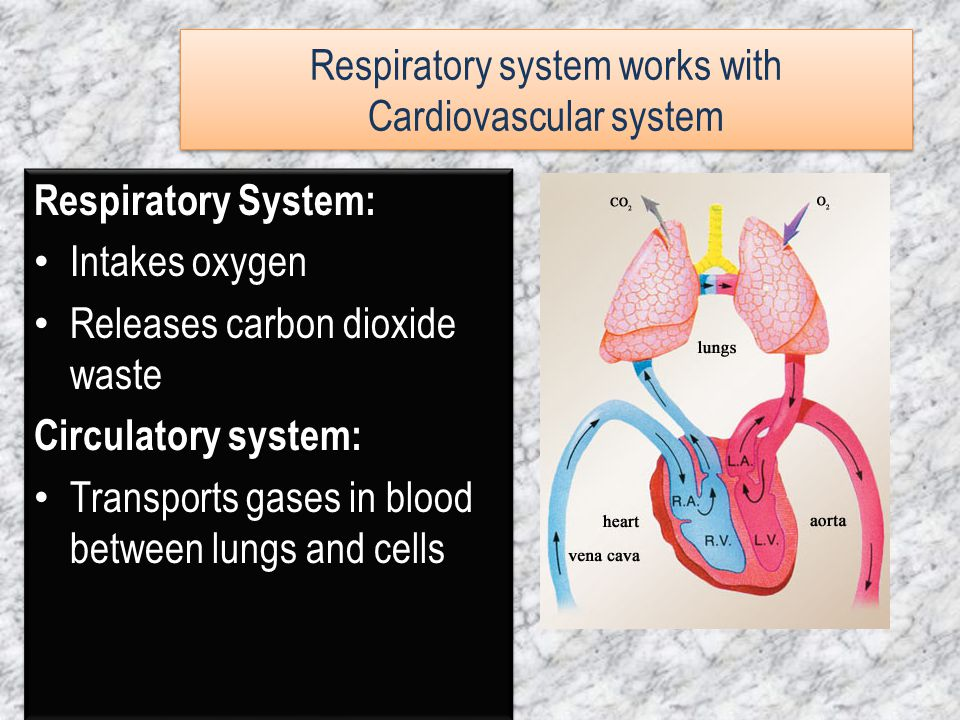 Respiratory system works with Cardiovascular system