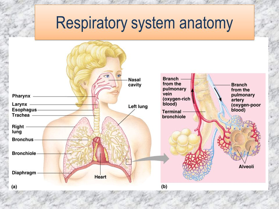 Respiratoryanatomy Power Point: Structure Of The Respiratory System