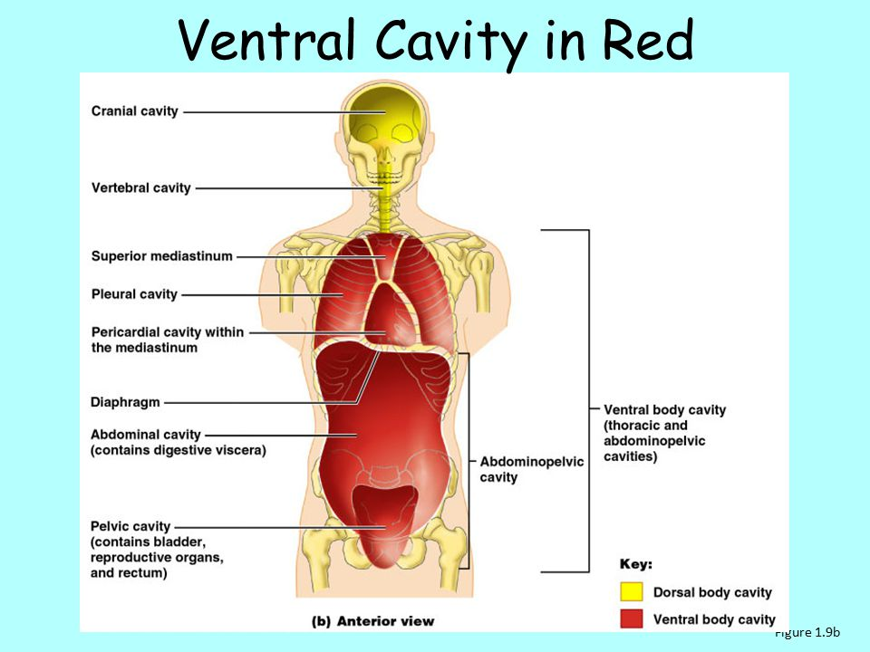 Ventral Cavity in Red Figure 1.9b