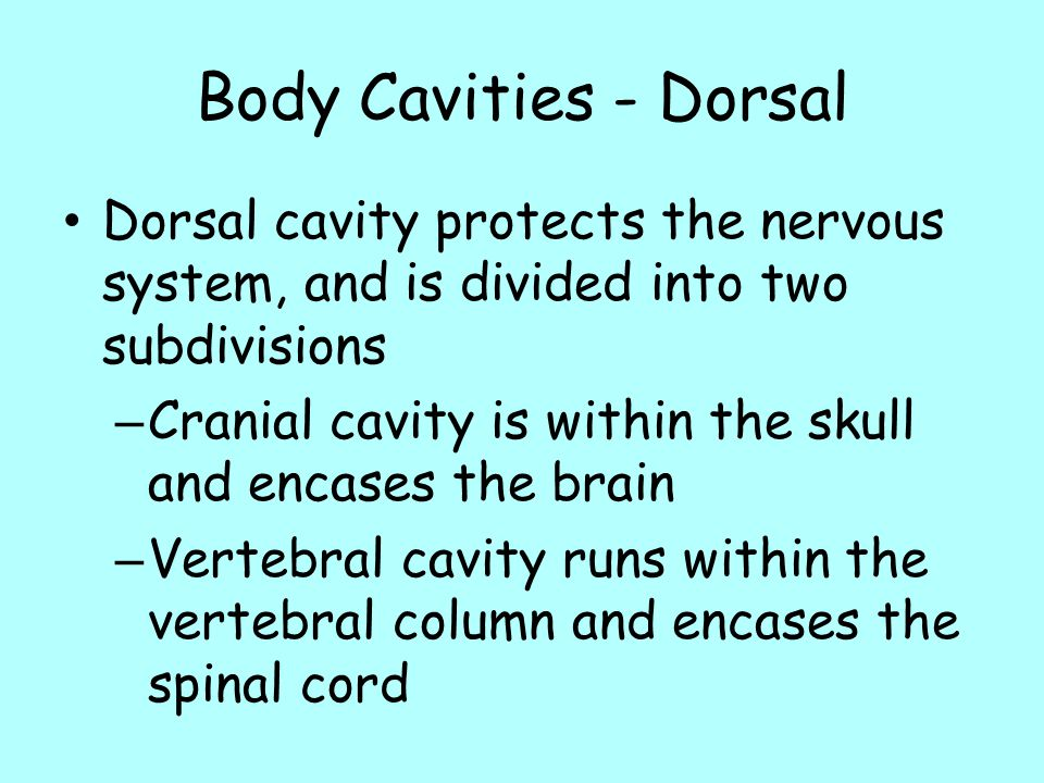 Body Cavities - Dorsal Dorsal cavity protects the nervous system, and is divided into two subdivisions.