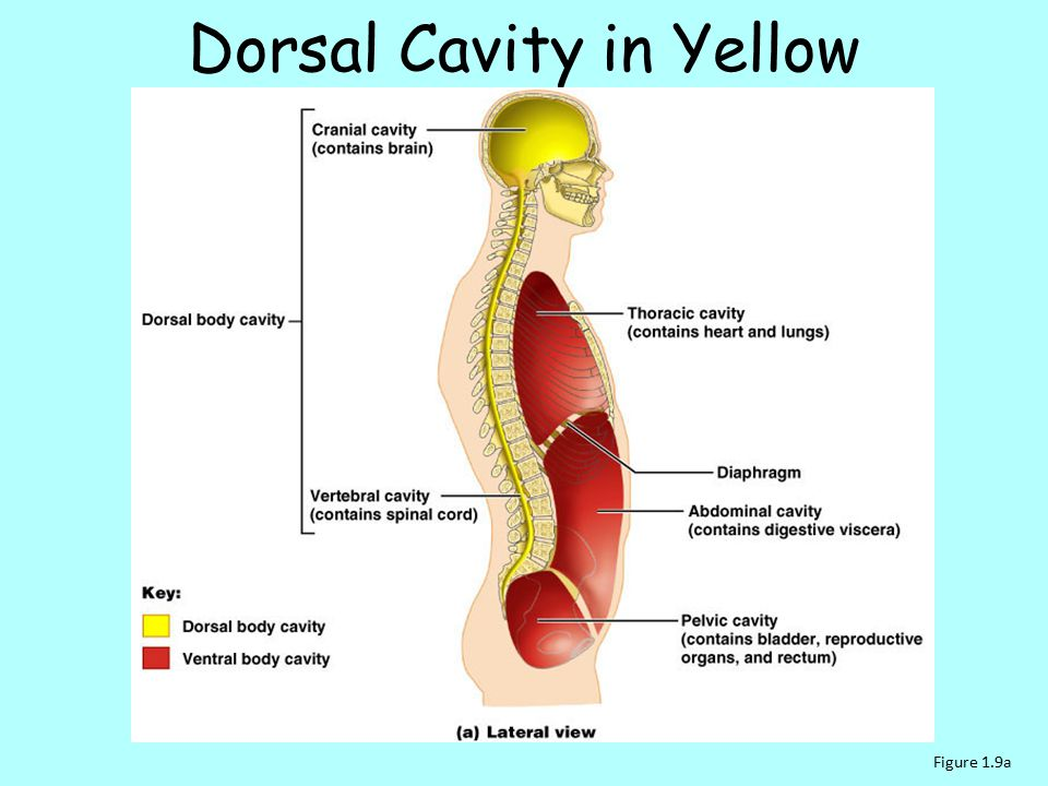 Dorsal Cavity in Yellow
