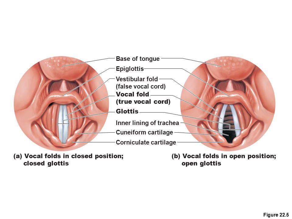Inner lining of trachea