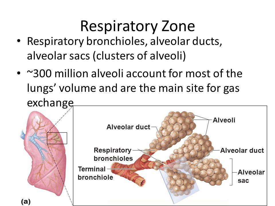 Respiratory Zone Respiratory bronchioles, alveolar ducts, alveolar sacs (clusters of alveoli)