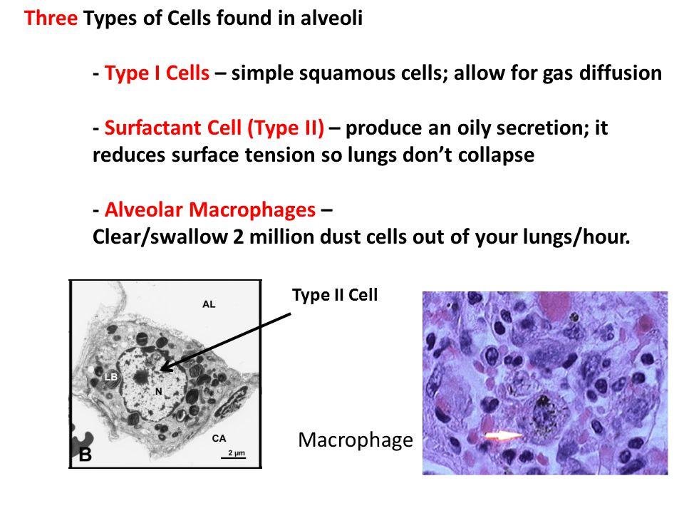 Three Types of Cells found in alveoli