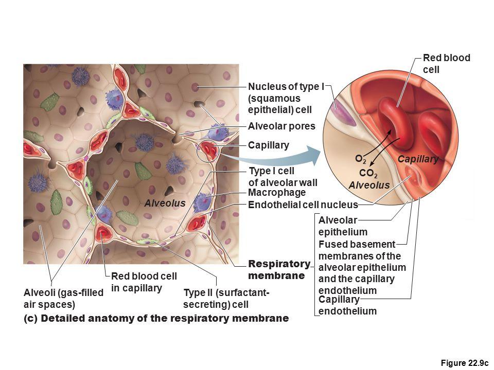 Endothelial cell nucleus