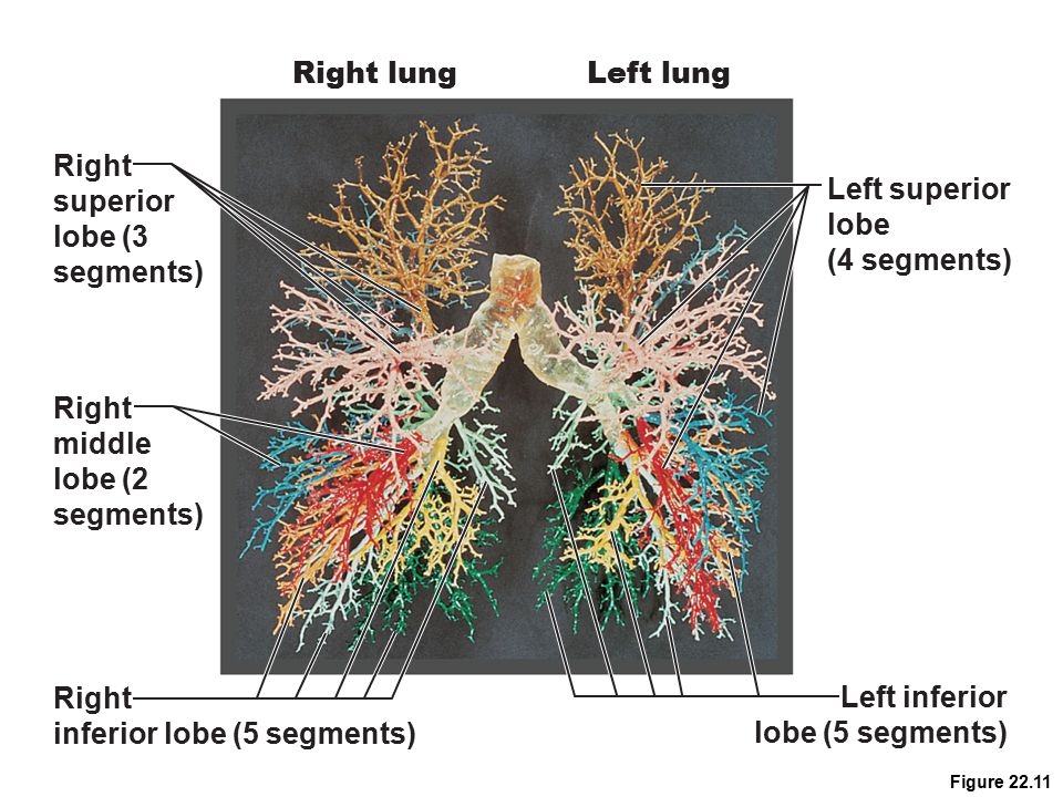 inferior lobe (5 segments) Left inferior lobe (5 segments)
