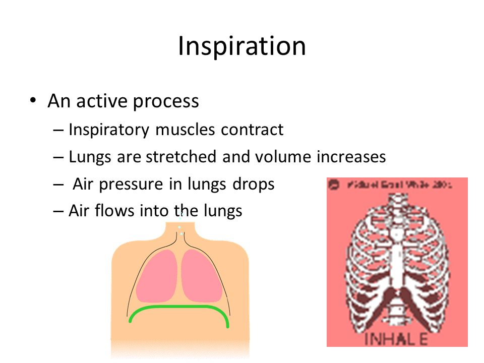 Inspiration An active process Inspiratory muscles contract