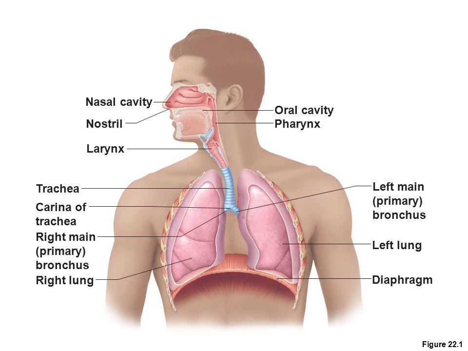 Nasal cavity Oral cavity Nostril Pharynx Larynx Trachea Left main