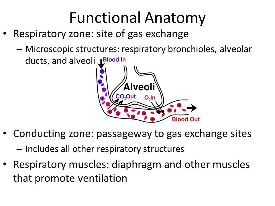 Functional Anatomy Respiratory zone: site of gas exchange