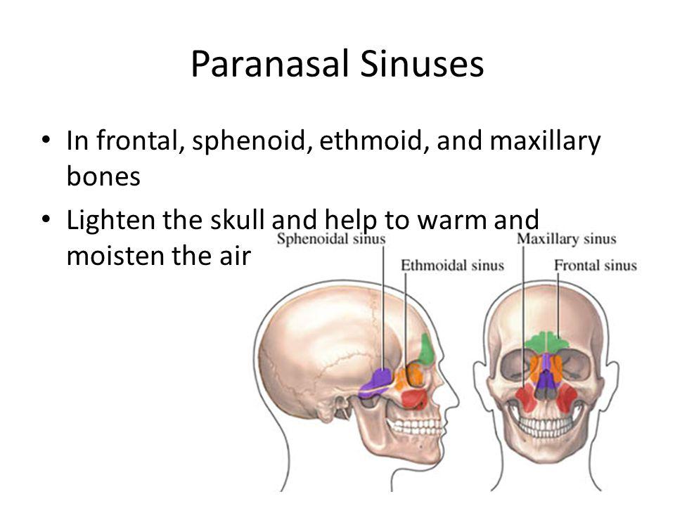 Paranasal Sinuses In frontal, sphenoid, ethmoid, and maxillary bones