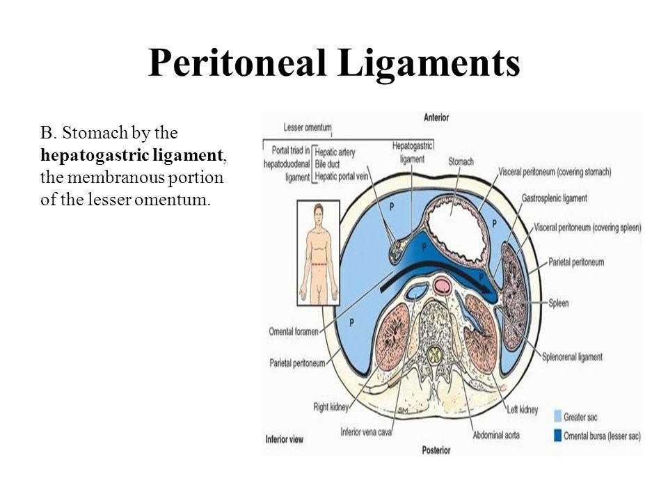 Peritoneal Ligaments B.