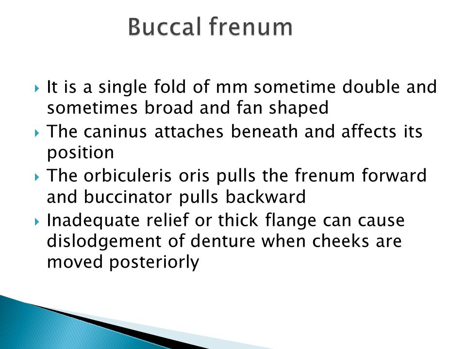 Buccal frenum It is a single fold of mm sometime double and sometimes broad and fan shaped. The caninus attaches beneath and affects its position.