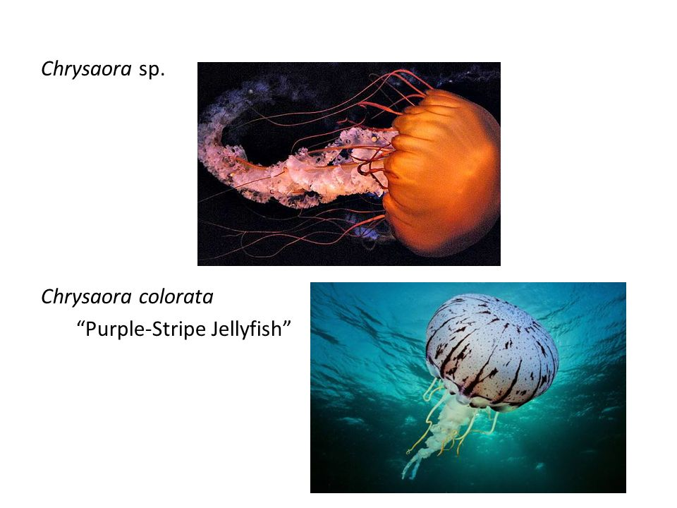 Chrysaora sp. Chrysaora colorata Purple-Stripe Jellyfish