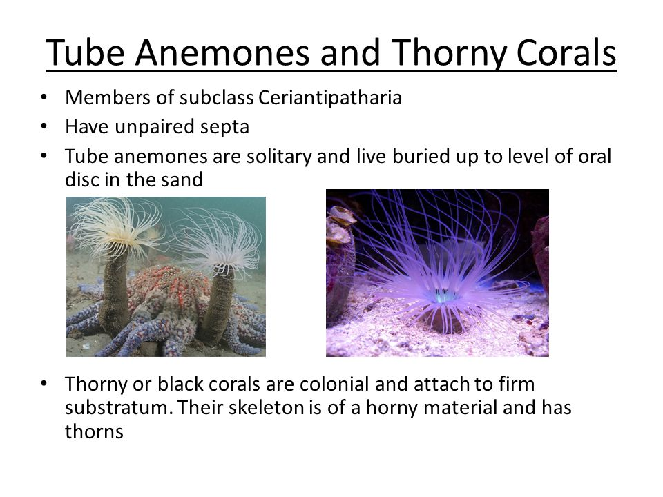Tube Anemones and Thorny Corals