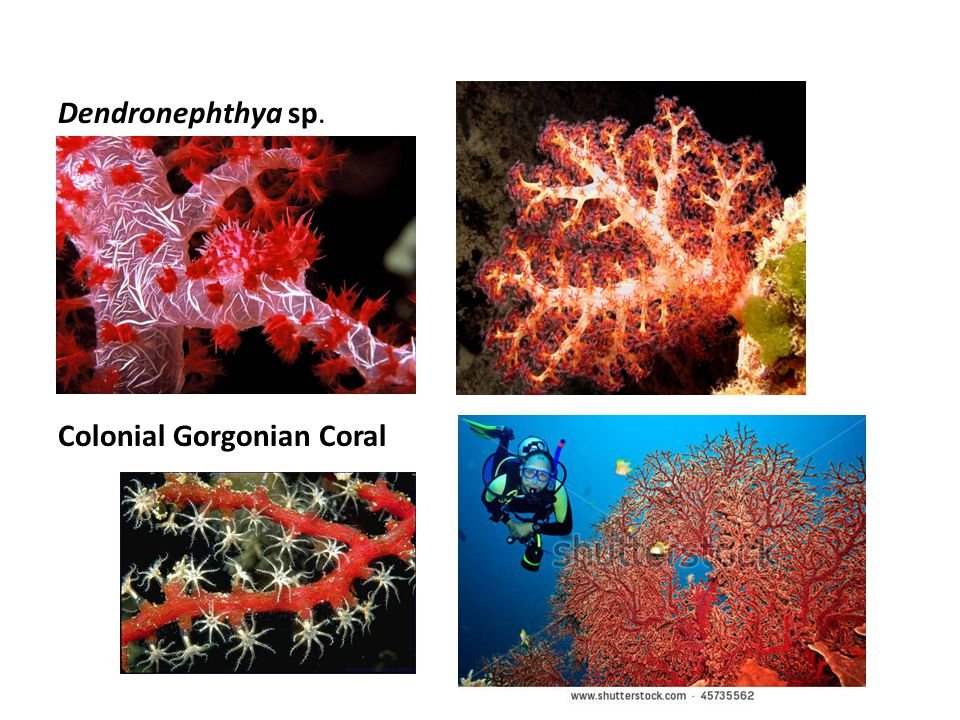 Dendronephthya sp. Colonial Gorgonian Coral