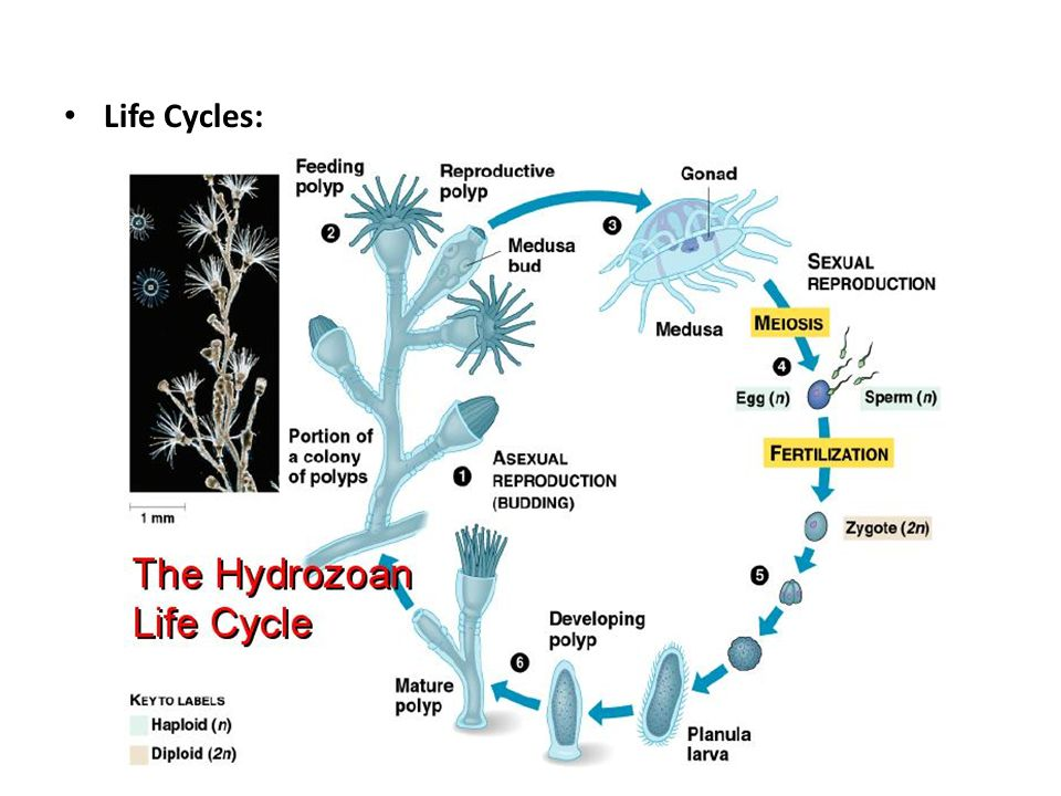 Life Cycles: -