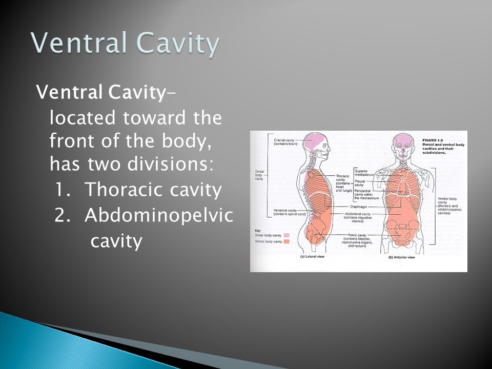 Ventral Cavity Ventral Cavity- located toward the front of the body, has two divisions: 1.
