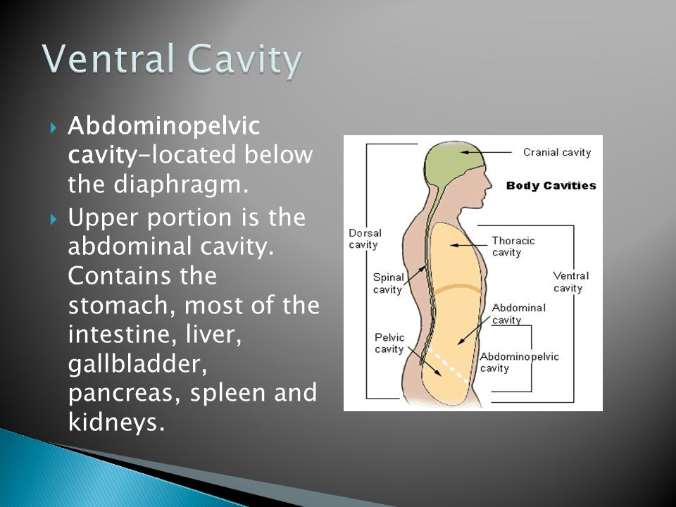 Ventral Cavity Abdominopelvic cavity-located below the diaphragm.