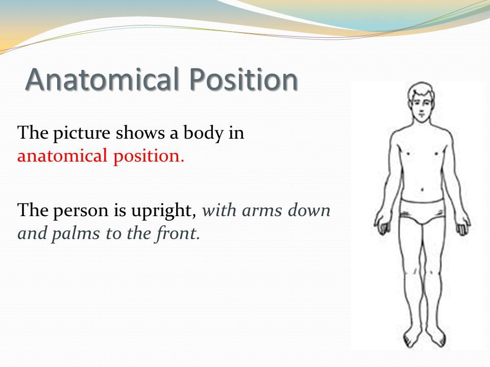 Anatomical Position The picture shows a body in anatomical position.