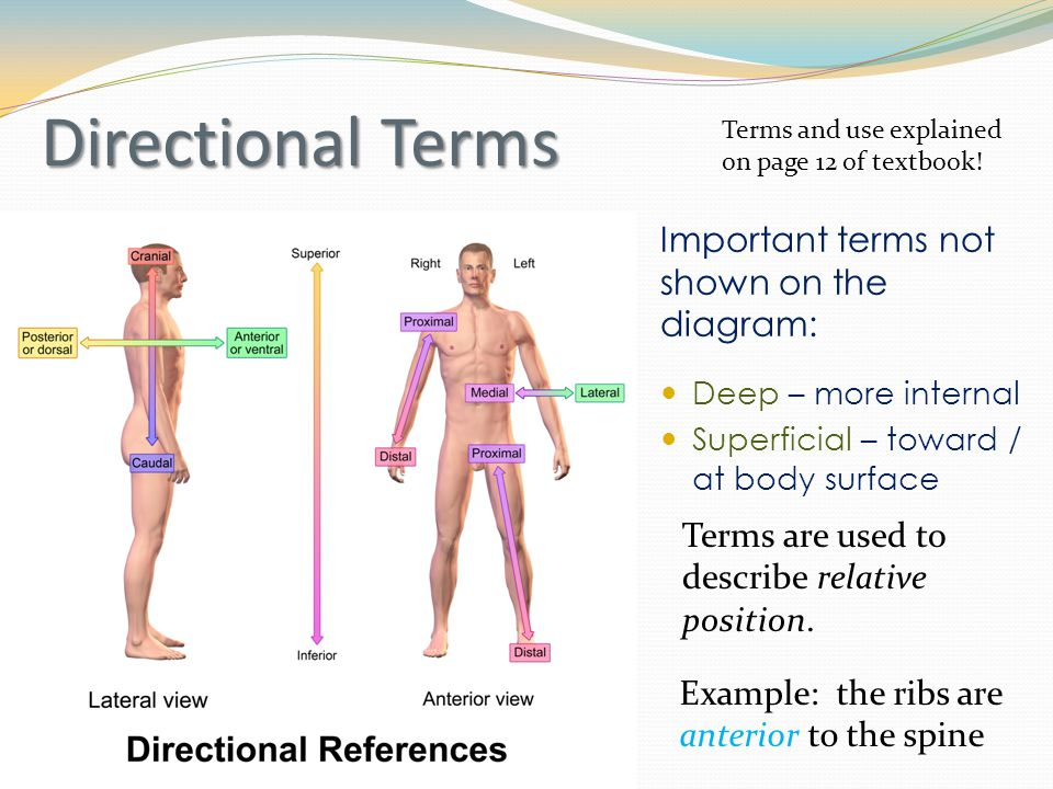 Directional Terms Important terms not shown on the diagram: