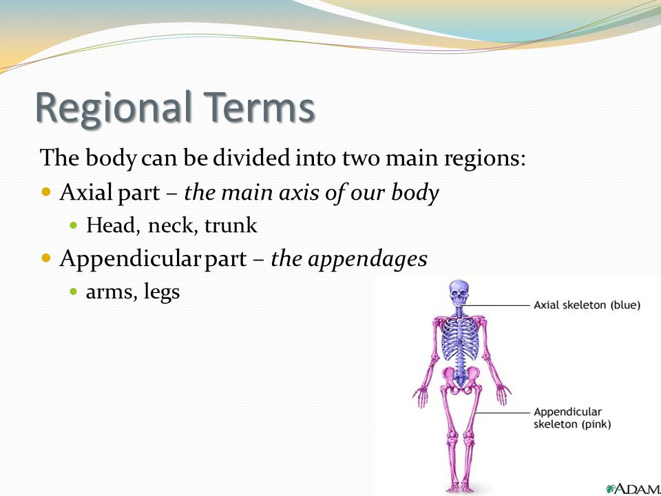 Regional Terms The body can be divided into two main regions: