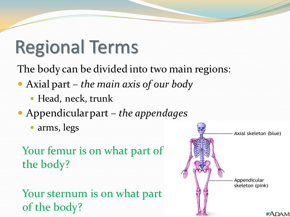 Regional Terms Your femur is on what part of the body