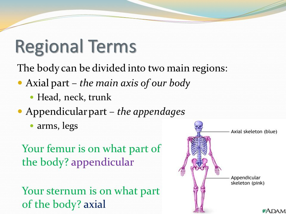 Regional Terms Your femur is on what part of the body appendicular